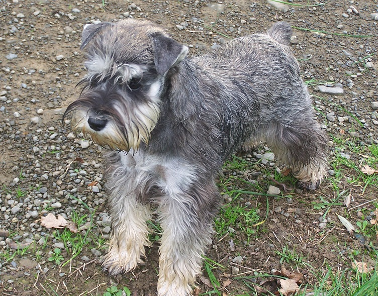 Oasis, Pugs, WHWT, Miniature Schnauzers, French Bulldogs, Puppies